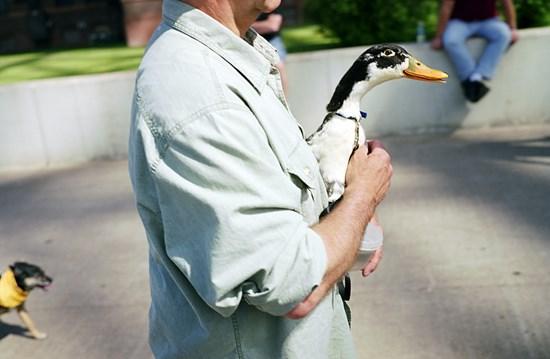A Duck, Duluth, Minnesota, June, 2011