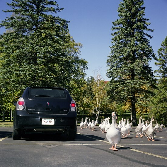 Attack of The Zombie Geese, Duluth, Minnesota, September, 2010