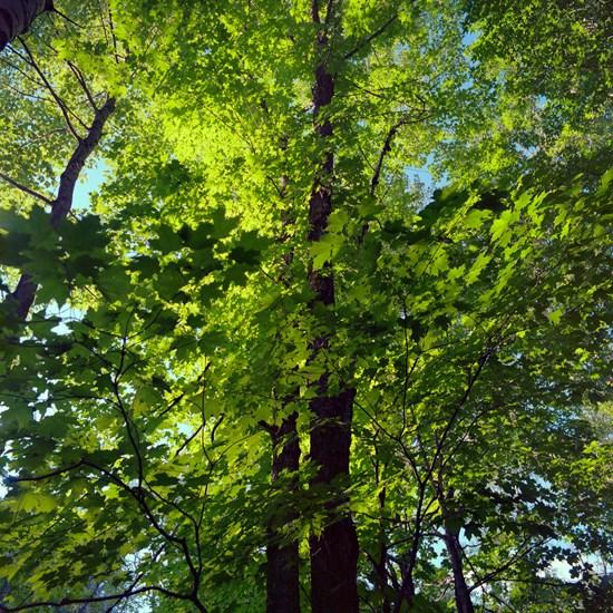 Green Leaves, Duluth, Minnesota, July 2020