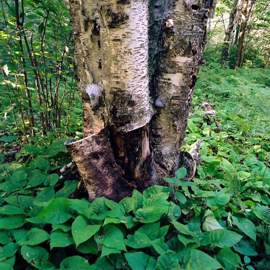 Torn Birch, Duluth, Minnesota, July 2020
