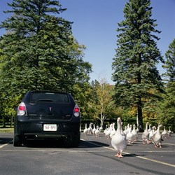 Attack of The Zombie Geese